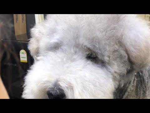 레이크랜드 테리어 왈츠의 실시간 미용 영상 / (LIVE) dog pet Lakeland Terrier grooming - Thời lượng: 57 phút.