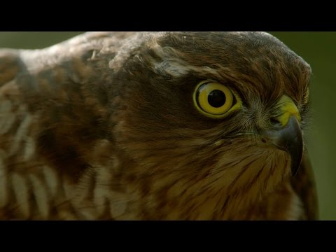 How sparrowhawks catch garden birds