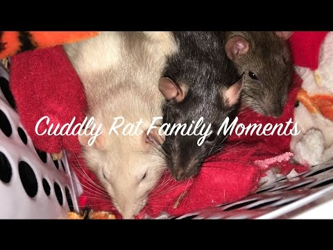 Cuddly Rat Family Moments