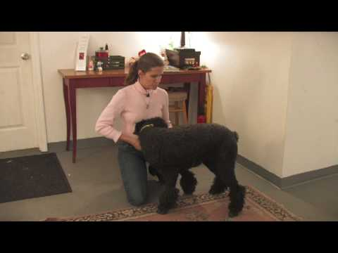 Dog Breeds : How to Select a Standard Poodle (видео)