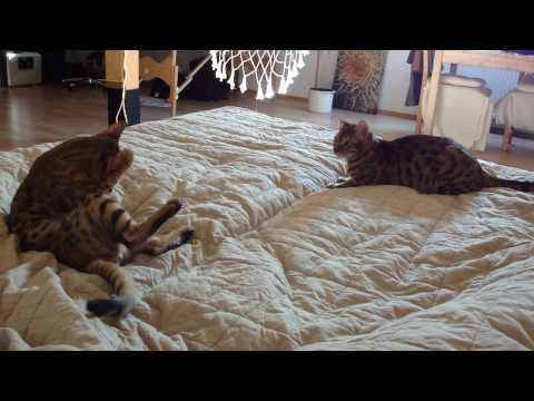 Bengalen - Bengalen Kitten (6 Monate alt) toben zusammen.