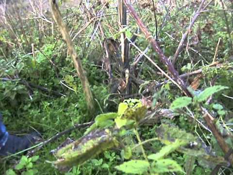 Wild edible plants - Burdock.MPG