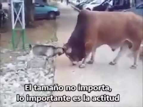 "DAVID Y GOLIAT "" CHIVO VS TORO """