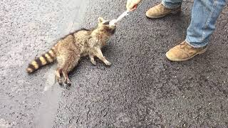 Video Neighbors rescue a Raccoon sentenced to death by hanging MP3, 3GP, MP4, WEBM, AVI, FLV Februari 2019