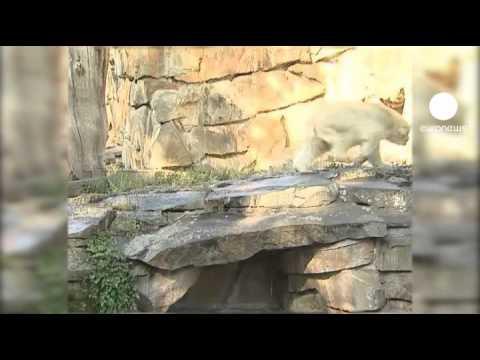 Une infection du cerveau a emporté Knut (видео)