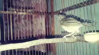Burung pelanduk gacor