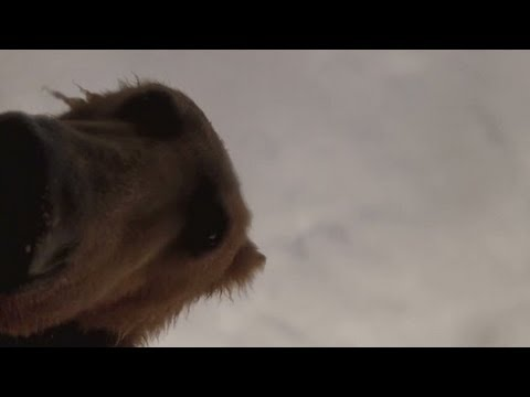 Watch grizzly bear try to eat camera
