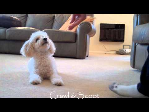 Miniature Poodle Tricks #2 (видео)