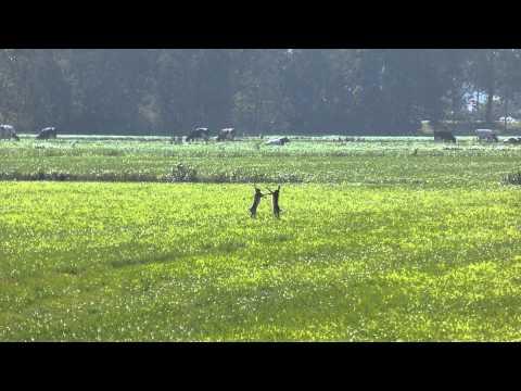 Vroege Vogels – Boksende konijnen