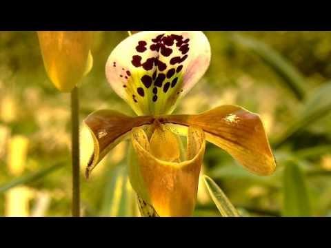 Orchideen Arten: Paph gratrixianum