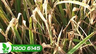 Trồng trọt | Khắc phục bệnh bạc lá lúa