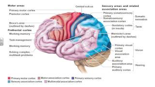 Dr. Parker's A&P I Chapter 12 Part 1 Cerebrum