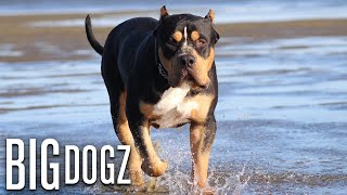 Our 170lb Black Tri-Colour Bully Is 'The World's Biggest' | BIG DOGZ by Barcroft Animals