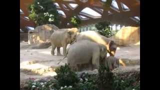 Elephant slips and gets attention from parents immediately