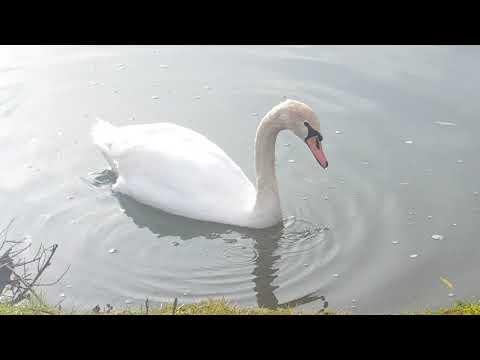 Лебеди на озере. Природа . Лебеди и утки. Красота природы. Озеро