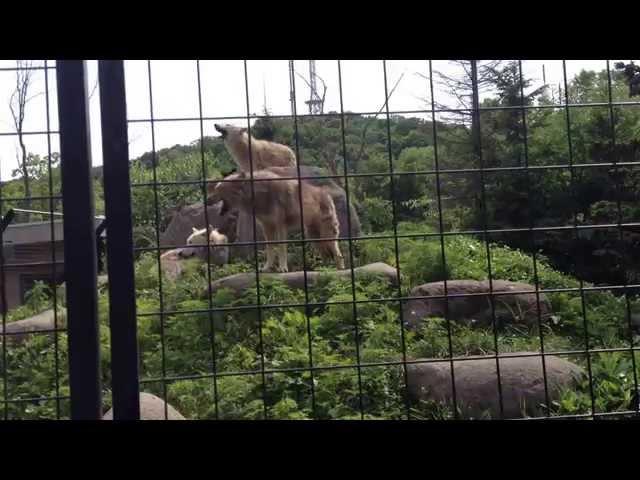 El llamado de los lobos