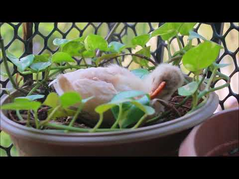 2 Months Old Baby Rooster Sand-bathing In The Herb Garden