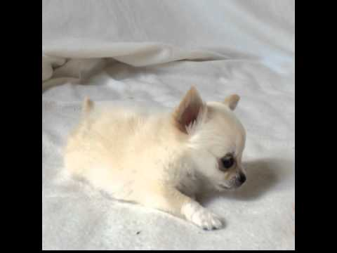Junior. Tiny Teacup Chihuahua Puppy. Chelsea Chihuahua
