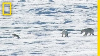 Video EXCLUSIVE: Male Polar Bear Chases and Eats Cub | National Geographic MP3, 3GP, MP4, WEBM, AVI, FLV Agustus 2017