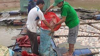 Chỉ sau một đêm, gần 100 tấn cá đồng loạt chết trắng hồ khiến nhiều hộ dân nuôi cá ở huyện Đắk Hà lâm cảnh trắng tay.Ngày 13 Tháng Bảy, nói với Báo Tuổi Trẻ, ông Hoàng Nghĩa Trí là phó chủ tịch huyện Đăk Hà, cho biết, cơ quan chức năng và công an huyện đã trực tiếp xuống lòng hồ thủy điện Plei Krông lấy mẫu nước xét nghiệm để tìm nguyên nhân cả trăm tấn cá bị chết.Người Việt TV (c) 2017 - http://NGUOIVIETTV.comNgười Việt Online - http://NGUOI-VIET.com