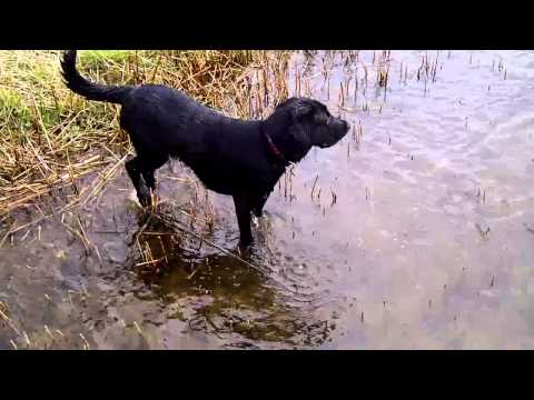 Max the 9month old black lab swimming