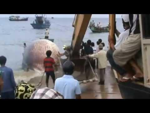 Cá Ông(Cá Nhà Táng)Xuất Hiện tại Biển Liên Hương