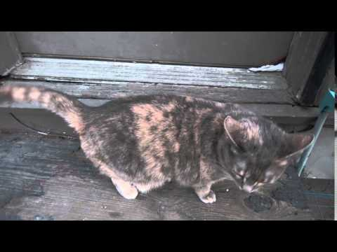 Cat Meowing At Door 20160423