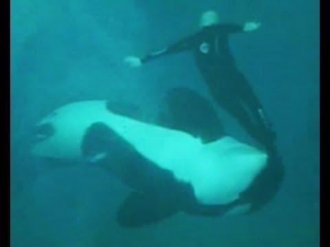 Killer whale attacks trainer dawn brancheau
