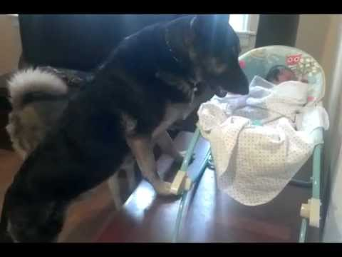 German Shepherd Protects Little Baby!