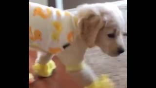 This golden retriever pup has duck pyjamas and matching slippers