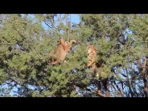 My brother woke up to the sound of two bobcats fighting in a tree in his backyard