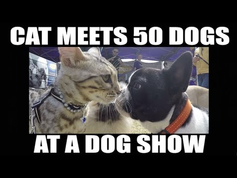CAT: Meets 50 Different Dogs at a Dog Show