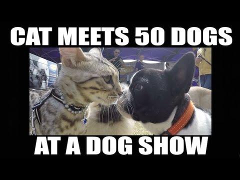 主人帶著貓咪參加狗展時本來還有點擔心,但看到牠「努力跟50隻狗狗打招呼」的萌樣大家就幸福到快死掉了!
