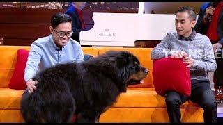 Video TIBETAN MASTIFF, Anjing Terbesar dan Termahal Di Dunia | HITAM PUTIH (01/02/19) PART 3 MP3, 3GP, MP4, WEBM, AVI, FLV Februari 2019
