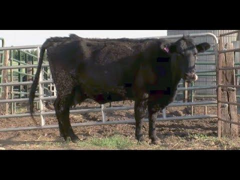 Granjero sabe que vaca está preñada, pero queda helado cuando ve a la cría
