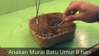 Video Perkembangan telur murai batu sampai usia 10 bulan | shama bird eggs until the age of 10 months MP3, 3GP, MP4, WEBM, AVI, FLV November 2018