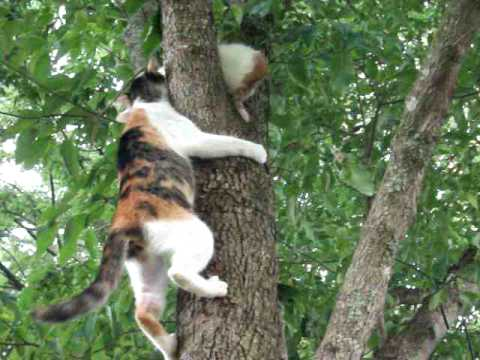 kitty - Kitten up in tree not knowing how to come back down is given encouragement from Mama Kitty!