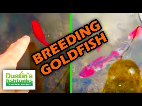 How to Breed Goldfish with Water Changes. Sexing Goldfish.