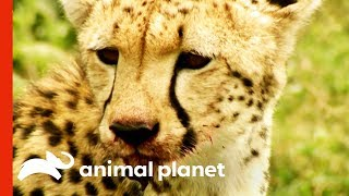 Wild Cheetah Uses Incredible Speed And Agility To Hunt Her Prey | Raw Nature by Animal Planet