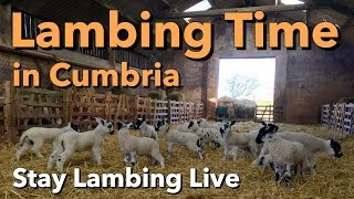 Lambing Time in Cumbria - Stay Lambing Live