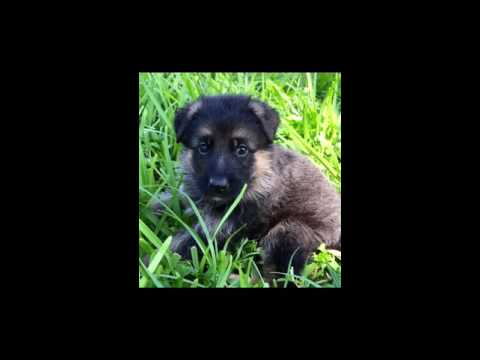 Adorable puppies from South Florida Shepherds
