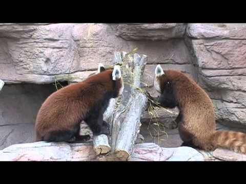 video:Denver Zoo welcomes red panda Chewbacca