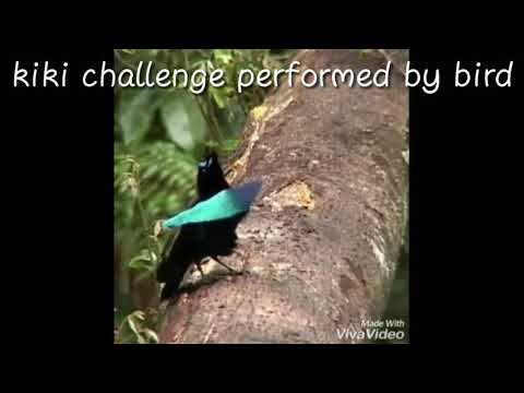 //kiki Challenge Performed By A 🐦//funny Short Video//