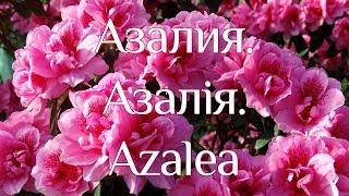 Азалія