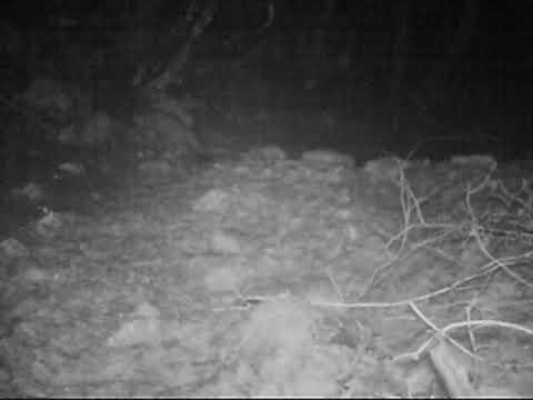 Il gatto selvatico ripreso nel Parco dei Monti Aurunci