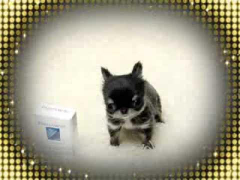 Teacup puppy for sale! Unique blue silver color chihuahua:)