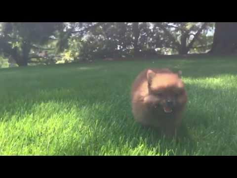 Frankie is a very friendly, intelligent Toy Pomeranian.