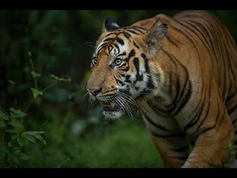 In search of the Tiger in Kanha and Bandhavgarh (OCTOBER 2019)