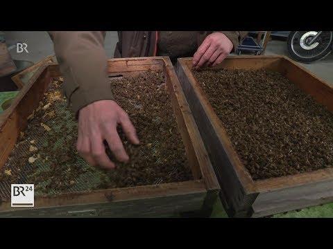 Immer mehr Bienenvölker überstehen den Winter nicht