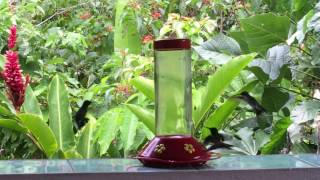 hummingbirds share feeder with bee